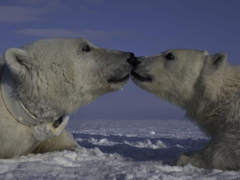 Mom with collar. Photo: Jon Aars / Norwegian Polar Institute.