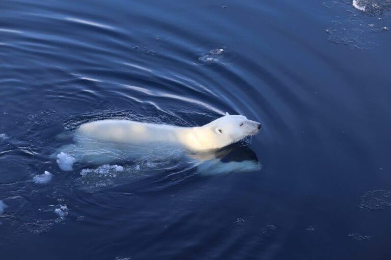 Swimmer: Photo: Magnus Andersen / Norwegian Polar Institute.