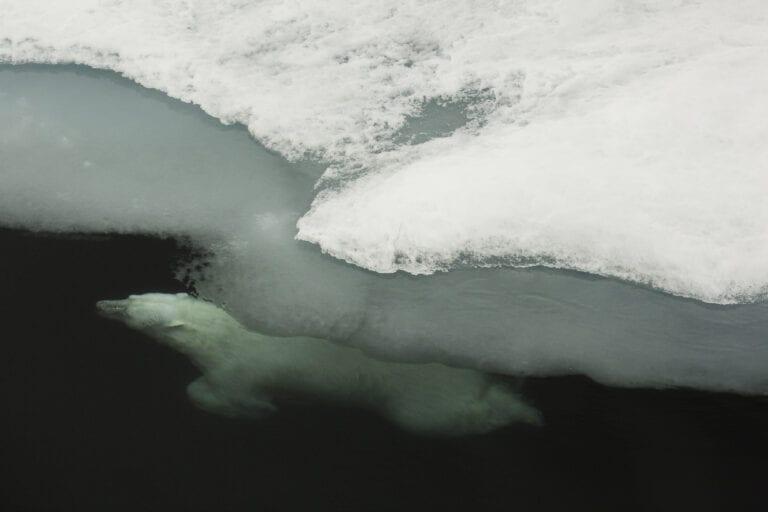 Diver: Photo: Jon Aars / Norwegian Polar Institute