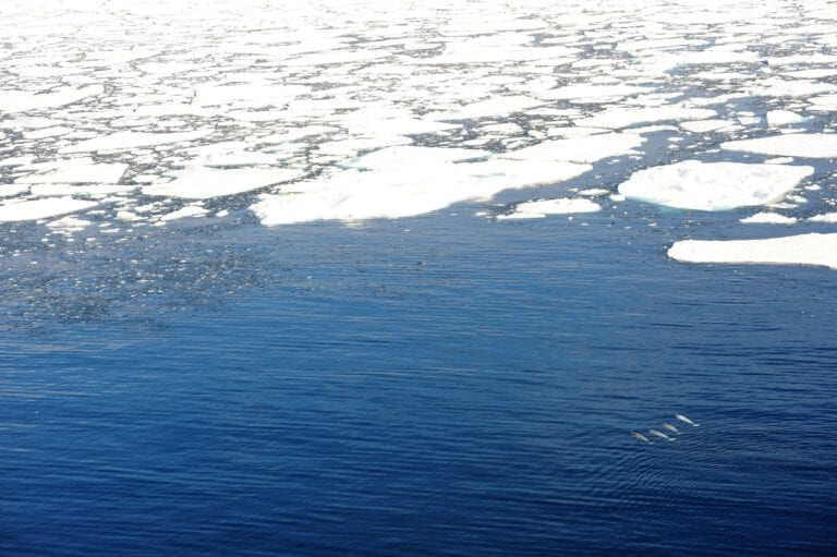 narwhal group near ice edge