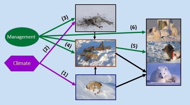Arctic fox Varanger module (2)