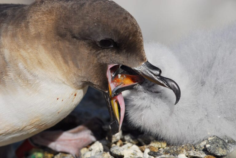ANPE feeds chick with krill